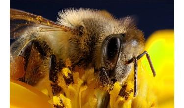 Скільки живе бджола