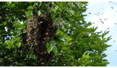 Ловля бджолиного рою