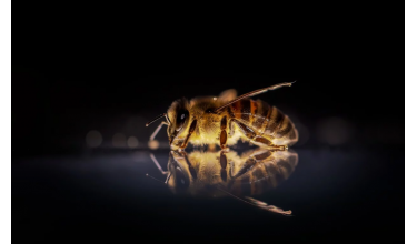 Види медоносних бджіл