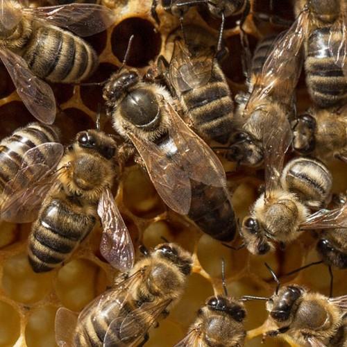 Плідна бджолина матка Карніка