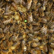 Пчелопакет (4 рамки)
